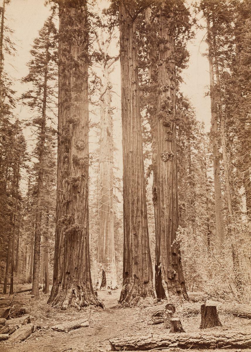 Carleton Watkins (1829-1916), Sequoia Grove, Calaveras County, um 1872, Albuminpapier, © Archiv der Universität der Künste, Berlin