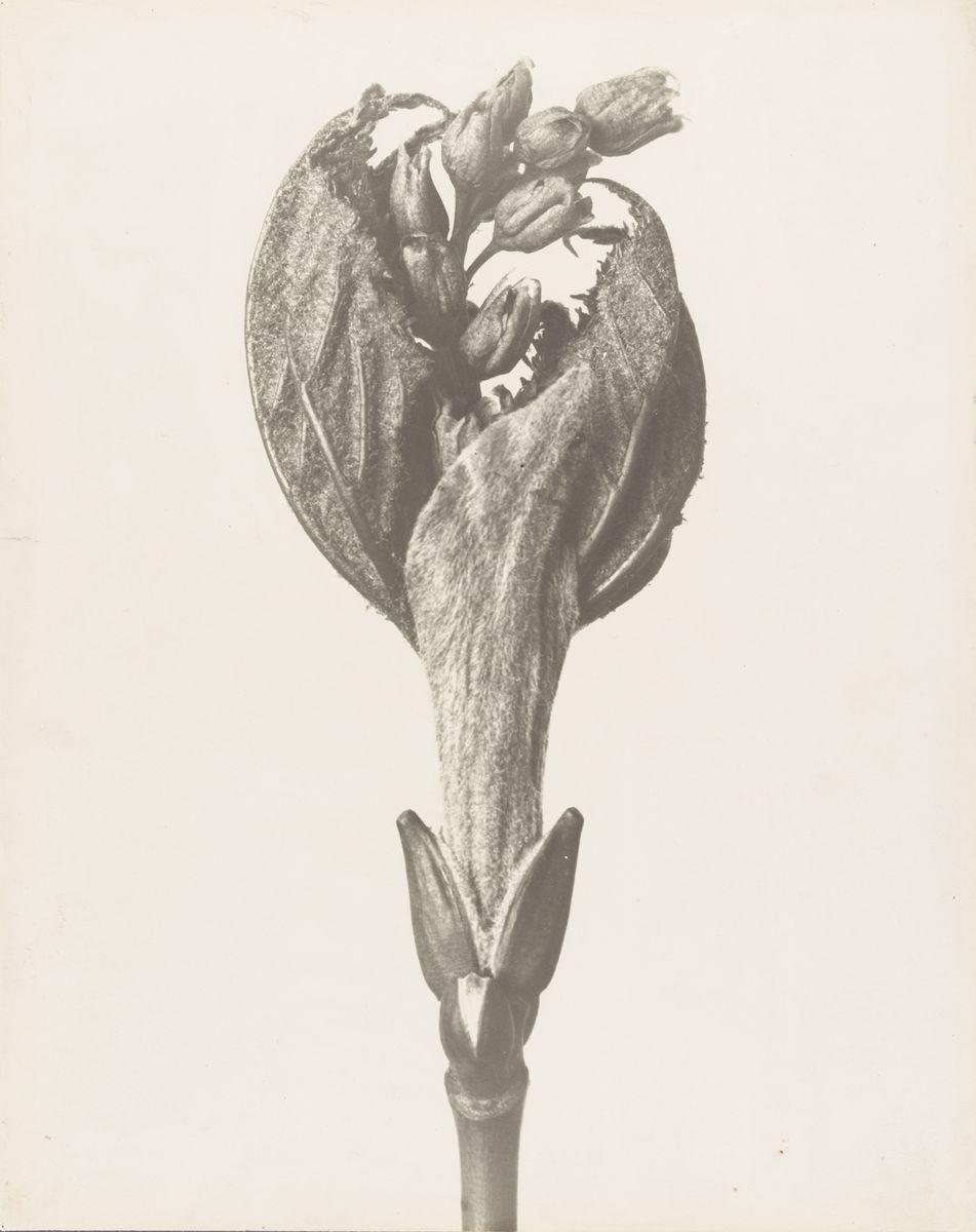 Karl Blossfeldt (1865-1932), Ahorn, Austrieb Blütenspross, 1890er-Jahre bis ca. 1930, Gelatineentwicklungspapier, © Archiv der Universität der Künste, Berlin